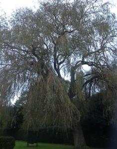 lichfield willow